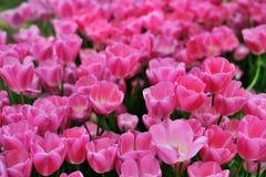 各种各样的郁金香在公园 免版税库存图片