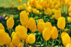 各种各样的郁金香在公园 免版税库存照片