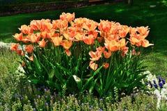 各种各样的郁金香在公园 库存照片