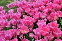 各种各样的郁金香在公园 库存图片