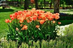 各种各样的郁金香在公园 图库摄影