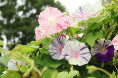 各种各样的颜色牵牛花开花  库存图片