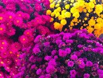 各种各样的颜色菊花 免版税库存照片