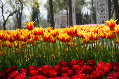 各种各样的颜色郁金香本质上在春天 库存照片