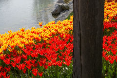 各种各样的颜色郁金香本质上在春天 库存图片