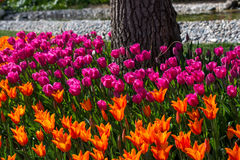 各种各样的颜色郁金香本质上在春天 免版税库存照片