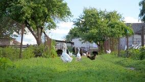 各种各样的poultries在室外的农场 影视素材