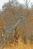 吻合与周围的灌木的充分的框架长颈鹿 免版税库存图片