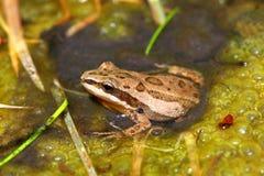 合唱青蛙西部pseudacris的triseriata 库存图片