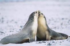 结合在海滩的两条海狗 免版税图库摄影