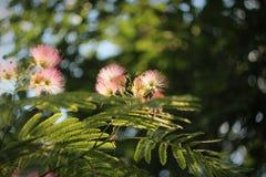 合欢树在公园 免版税图库摄影