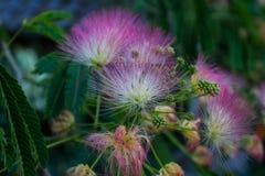 合欢树julibrissin或波斯合欢是树的种类在家庭豆科植物类的,当地对西南和东亚 库存图片
