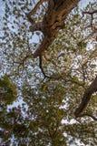 合欢树lebbeckSiris树,妇女` s舌头,含羞草lebbeck树和晚上天空 免版税库存照片