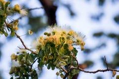 合欢树lebbeckSiris树,妇女` s舌头,含羞草lebbeck花  图库摄影