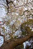合欢树lebbeckSiris树,妇女` s舌头,含羞草lebbeck树和晚上天空 库存图片