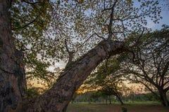 合欢树lebbeckSiris树,妇女` s舌头,含羞草lebbeck树和晚上天空 库存照片