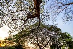 合欢树lebbeckSiris树,妇女` s舌头,含羞草lebbeck树和晚上天空 免版税图库摄影