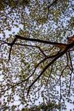 合欢树lebbeckSiris树,妇女` s舌头,含羞草lebbeck树和晚上天空 图库摄影