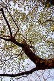 合欢树lebbeckSiris树,妇女` s舌头,含羞草lebbeck树有蓝天背景 库存图片