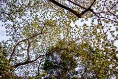 合欢树lebbeckSiris树,妇女` s舌头,含羞草lebbeck树有蓝天背景 免版税库存照片