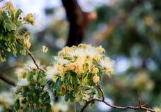 合欢树lebbeckSiris树,妇女` s舌头,含羞草lebbeck花  库存图片