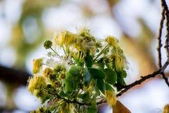 合欢树lebbeckSiris树,妇女` s舌头,含羞草lebbeck花  免版税库存照片
