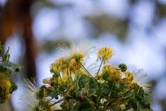 合欢树lebbeckSiris树,妇女` s舌头,含羞草lebbeck花  库存照片
