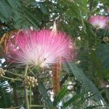合欢花和种子荚-合欢树julibrissin特写镜头 免版税图库摄影