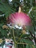 合欢花和种子荚-合欢树julibrissin特写镜头 免版税库存图片