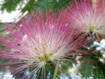 合欢花-合欢树julibrissin特写镜头 免版税库存图片