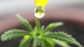 合法化植物大麻的主题照片 没有药物价值的低THC技术培育品种 大麻幼木,耕种被大麻 股票录像