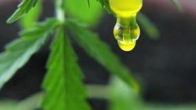 合法化植物大麻的主题照片 没有药物价值的低THC技术培育品种 大麻幼木,耕种被大麻 股票视频