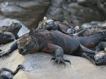 合理地睡觉的鬣鳞蜥 免版税库存照片