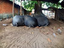 合理猪睡眠在地面上 免版税库存照片