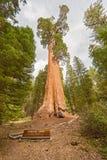 综合财政补贴美国加州红杉树,国王峡谷国家公园 免版税图库摄影