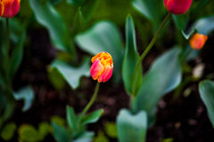 吉米三文鱼郁金香 在绿色背景的橙色花 库存照片