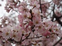 吉野在上野公园Toshogu寺庙的樱花 库存照片