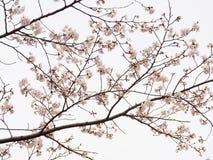 吉野在盛开的樱桃树分支在天空背景中 库存照片