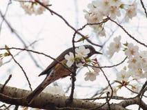 吉野樱桃树开花和布朗有耳的歌手, Microscelis amaurotis 免版税库存照片