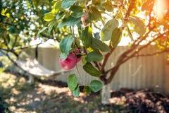 吊床在树和成熟苹果背景的庭院里在一个晴天 图库摄影