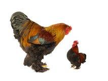 同一年龄1的两只公鸡 被隔绝的5岁 库存图片
