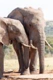 同时永远-非洲人布什大象 免版税库存图片