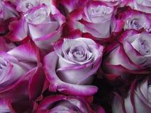 同色而浓淡不同的玫瑰色和紫色绯红色花束,大 库存照片