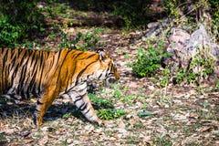 名为的皇家孟加拉老虎Ustaad走 免版税库存图片