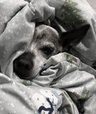 名为皮特的疲乏和老狗 免版税库存照片