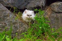 名为Jonsie的一只白色波斯猫2 免版税库存照片
