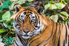 名为Ustaad的皇家孟加拉老虎特写  图库摄影