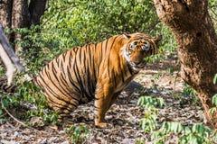名为Ustaad的皇家孟加拉老虎 免版税库存照片