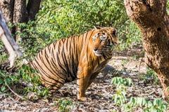 名为Ustaad的皇家孟加拉老虎 库存照片