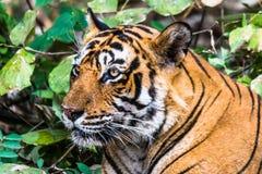 名为Ustaad的皇家孟加拉老虎 免版税库存图片